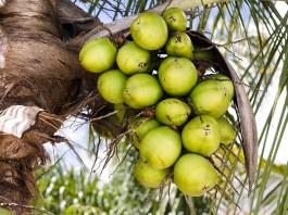 85-1-kokosoel-herstellung